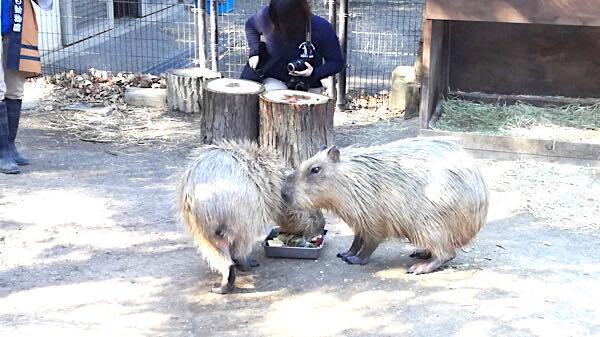 智光山公園_カピバラ