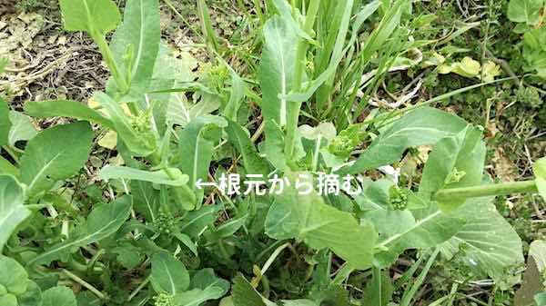菜の花_摘み方