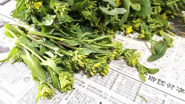 菜の花_収穫