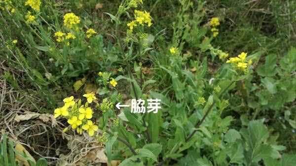 菜の花_脇芽
