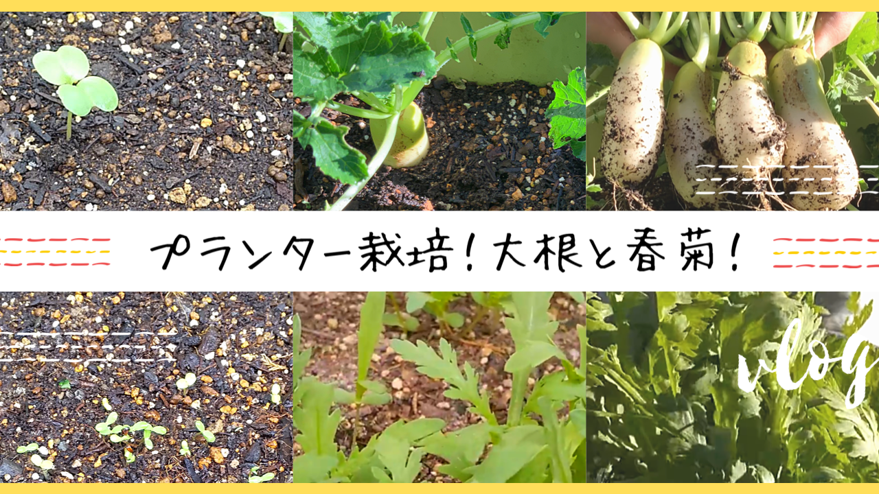 プランター栽培 大根